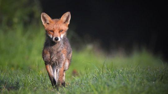 Eine Chance für den Fuchs