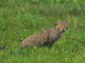 Die Wildkatze (Felis silvestris)