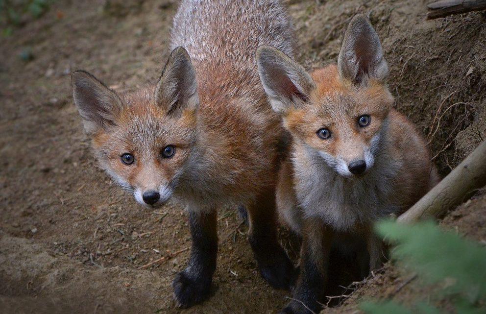 Fuchsjagd – Nein Danke