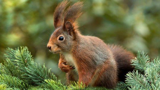 Das Eichhörnchen (Sciurus)