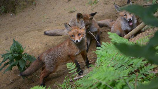 Mordsspaß mit Fuchswelpen