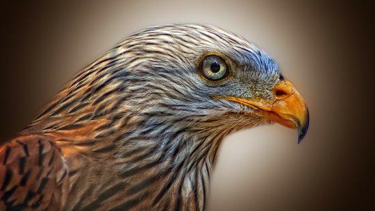 Wilderei von Greifvögeln