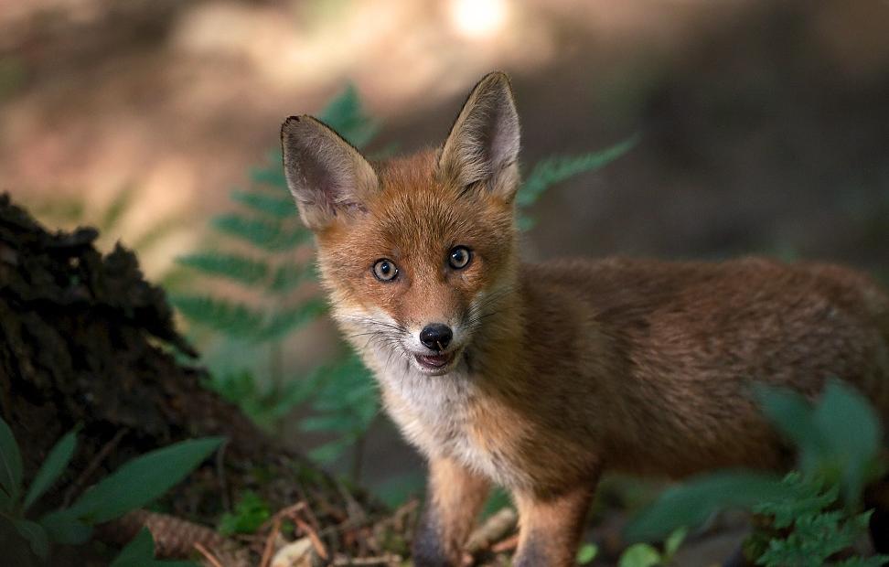 Welpenschutz – gibt es den für Füchse?